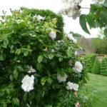 Roses in White Garden, looking to Topiary walk and Tithe Barn (May)